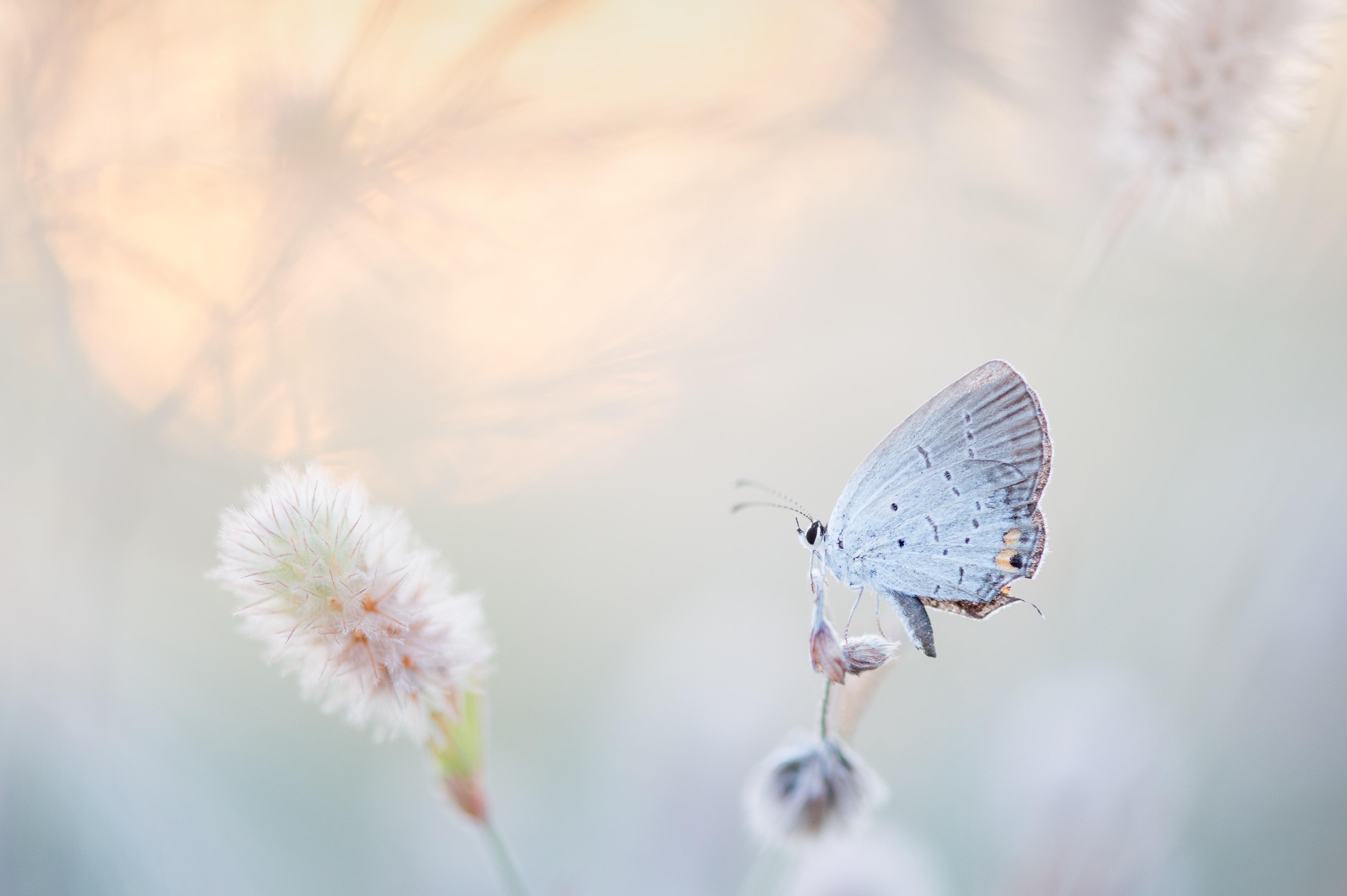 ijsvlinder
